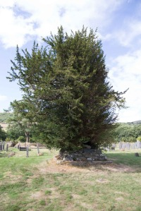 Daffyd's Yew